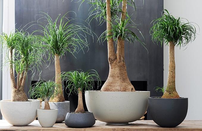plantas similares a la yuca